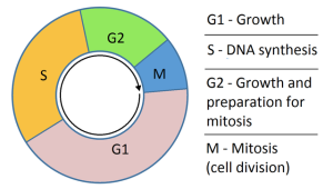 Cell Cycle from G0 (resting phase) to M (Mitosis - complete cell division)