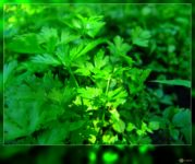 Can Parsley help prevent or treat Alzheimer's disease?